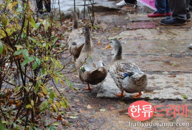 Ducks at Nami Island